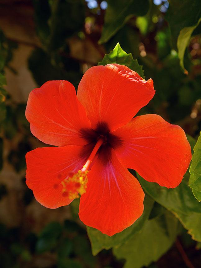 Red Flower in Turkey