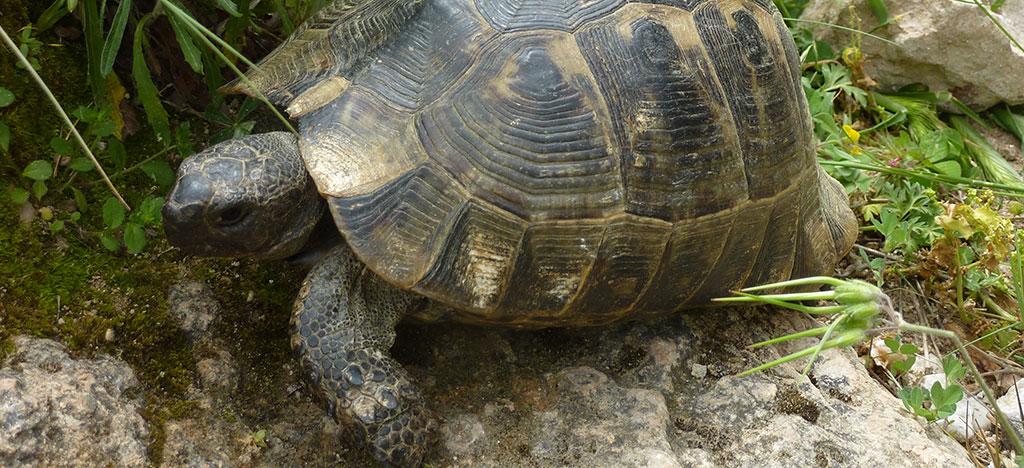 Tortoise on Lycian Way