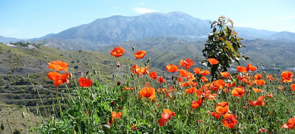 Frigiliana Poppies in front of mountain