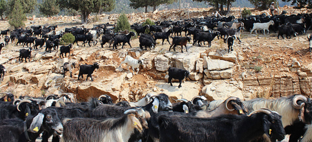 Goats in Turkey